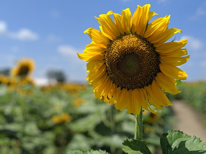 Sunflowers are in bloom over at Eckert's Farm in Belleville, Illinois. - PHOTO COURTESY OF ECKERT'S