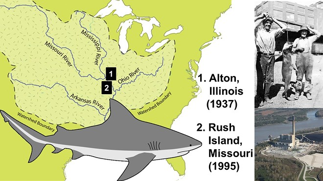 Researchers verified two 20th century bull shark sightings near St. Louis. - RYAN SHELL AND NICHOLAS GARDNER