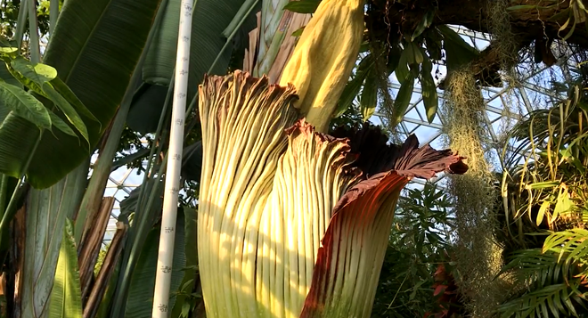 Octavia the corpse flower is ready to put on a (smelly) show. - SCREENGRAB FROM MISSOURI BOTANICAL GARDENS  / FACEBOOK LIVE