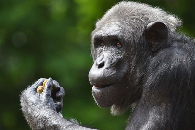 Jimiyu, the 29-year-old chimpanzee, got his first dose of the COVID-19 vaccine. - COURTESY SAINT LOUIS ZOO