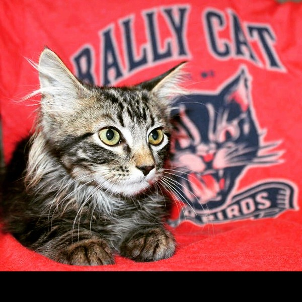 Rally Cat is getting ready for his next closeup — and selling shirts to benefit the St. Louis Feral Cat Outreach. See 108 Stitches for more details. - IMAGE VIA @STLFCO