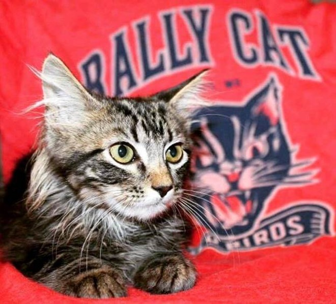 Rally Cat now has legal counsel. - COURTESY OF ST. LOUIS FERAL CAT OUTREACH