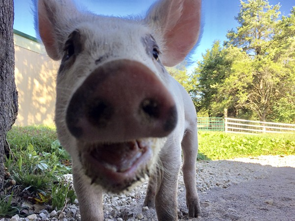 A happy pig at home at the Gentle Barn. - PHOTO COURTESY OF ELLIE LAKS-WEINER
