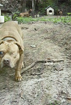A one-eyed dog seized from the kennel of James Milburn, a pit bull breeder and dogfighter in southern Illinois. Click here for undercover video footage from the investigation.