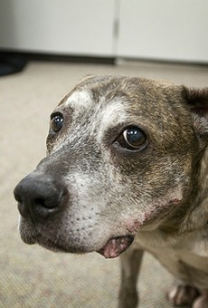 Meet Junior. He's an eleven-year-old American Pit Bull Terrier who was handed over to Broken Hearts, Mended Souls Rescue. See more photos of rescued dog-fighting dogs.