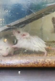 PETA and Whistleblower Allege Animal Testing Abuse at Washington University