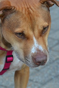 Activists took to Florissant's City Council meeting Monday night in an attempt to persuade the council and Mayor Tom Schneider to repeal the city's pit bull ban.