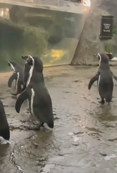 Humboldt penguins are magic.