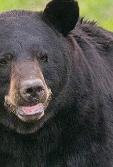 Do Not Shoot This Horny Roaming Bear, He's Just Trying to Get Laid