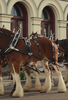 """No, these aren't Budweiser Clydesdales. They're just """"horses."""""""