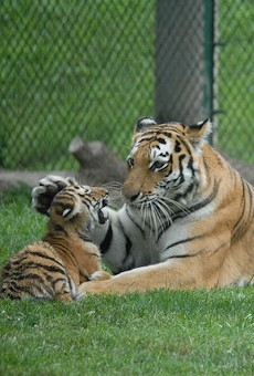 Kalista and one of her cubs. She gave birth to five cubs in 2008.