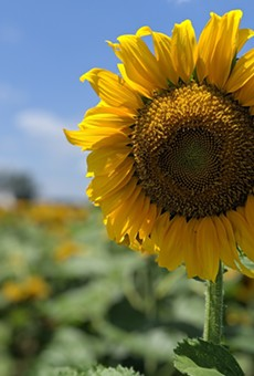 Sunflowers are in bloom over at Eckert's Farm in Belleville, Illinois.