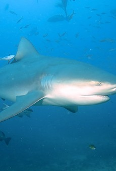There have been two confirmed bull shark sightings in the 20th century in the Mississippi River near St. Louis.