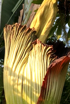 Octavia the corpse flower is ready to put on a (smelly) show.