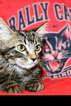 Rally Cat is getting ready for his next closeup — and selling shirts to benefit the St. Louis Feral Cat Outreach. See 108 Stitches for more details.
