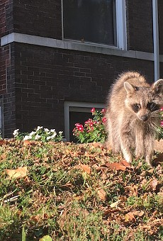 Veterinarian Jay King recently euthanized this raccoon, who was sick with distemper.