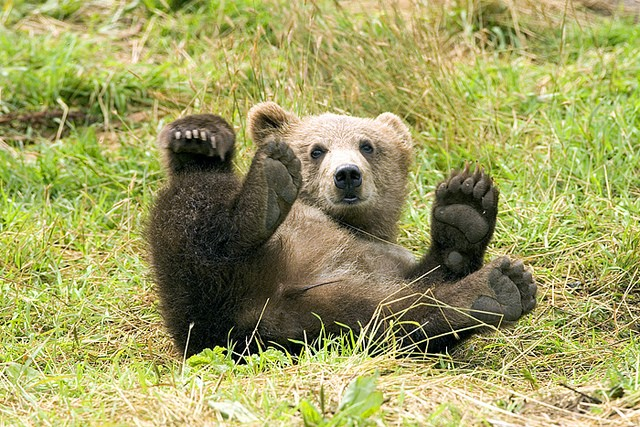A bear cub will be euthanized after a rabies scare at Washington University in St. Louis. - STEVE HILLEBRAND VIA FLICKR