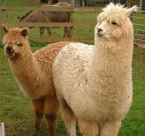 Some wild animal has a taste for alpacas.
