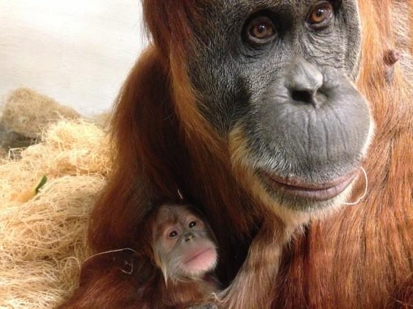 Mommy Merah and her new (still unnamed) baby orangutan. - STEPHANIE BRACCINI, SAINT LOUIS ZOO