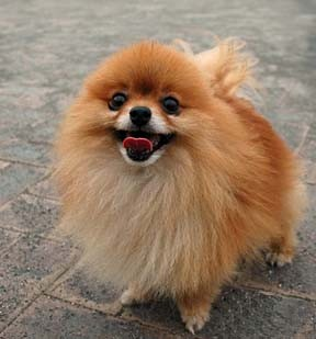 The average Pomeranian weights about six pounds, the average man, about 175.