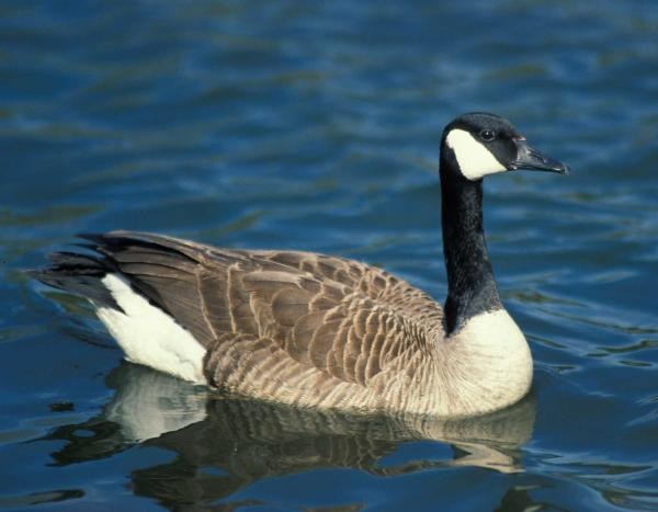 A Canada Goose, the only species that nests in Missouri. -  JIM RATHERT, MDC