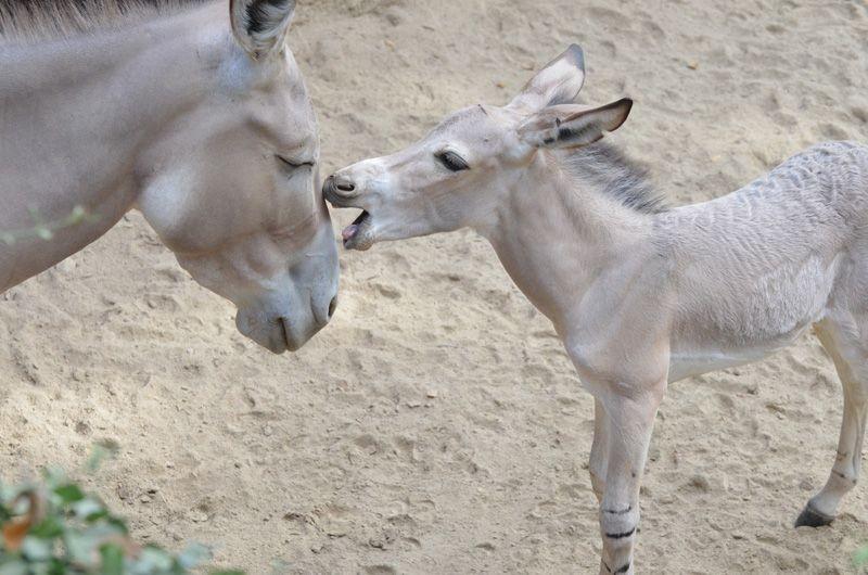 Big Ass News! Record Number of Somaili Wild Asses Born at