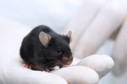A weeklong series of injections for this mouse can reverse the effects of months of bad eating. Can the same happen for humans? - IMAGE VIA