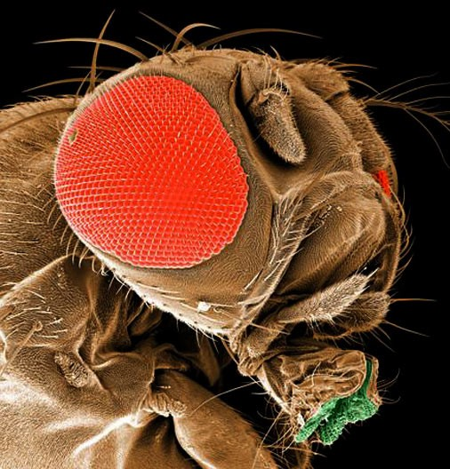 Notice the bloodshot eyes of this fruit fly. Must be an insomniac. - PBS.ORG