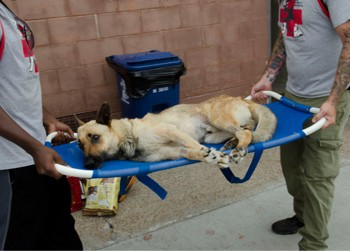 Shep gets help after being shot and sodomized. - STRAY RESCUE