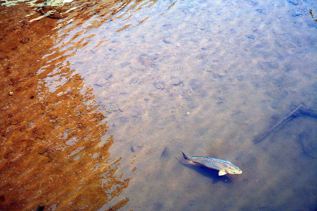 Shad in the river. - FREAKGIRL ON FLICKR