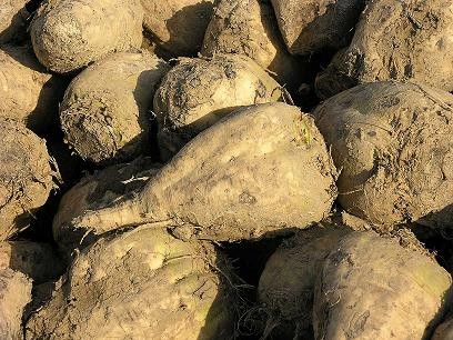 About half of America's sugar supply comes from sugar beets such as these. - IMAGE VIA