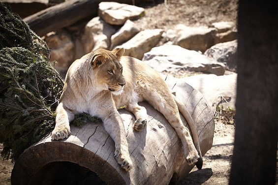Oh, me? I'm just LION around! Get it? - STEVE TRUESDELL