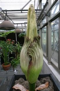 Behold your nose. The UMSL corpse flower!