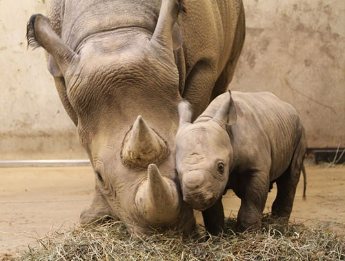 The new rhino calf and his mother, Kati Rain. - IMAGE VIA