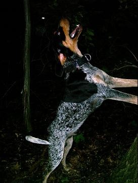 A coon dog in action.