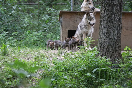 The Arizona wildfires might have the power to impact almost half the population of Mexican gray wolves living in the wild. These one-month-old pups live at the Endangered Wolf Center in Eureka. - PHOTO COURTESY OF REGINA MOSSOTTI