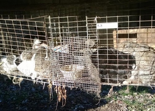 Rabbits crammed into dirty cages on a property in St. Clair.