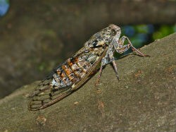 Cicadas: the perfect crunchy counterpart to creamy ice cream. - WIKIMEDIA COMMONS