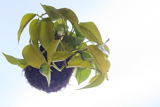 "A ""kokedama"" hanging plant."