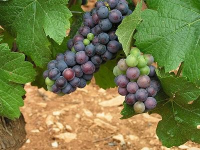 Pinot noir grapes - OLIVIER VANPÉ, WIKIMEDIA COMMONS