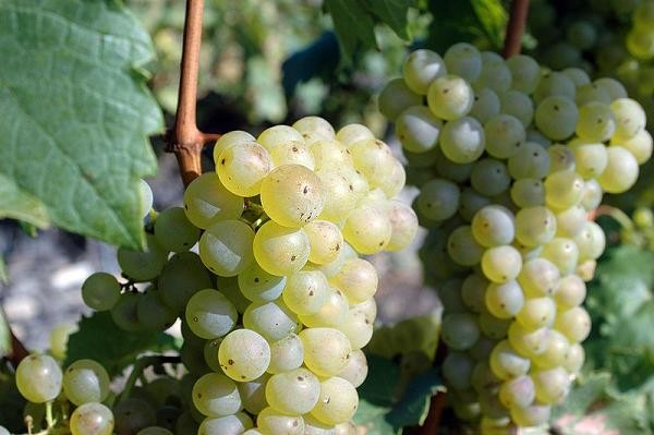 Riesling grapes - KARL BAUER, WIKIMEDIA COMMONS
