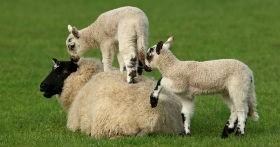 MONROE COUNTY SHEEP PRODUCERS