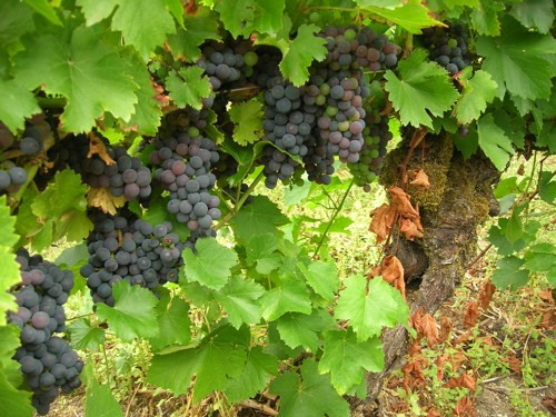 The mencía grape of Spain - WIKIMEDIA COMMONS