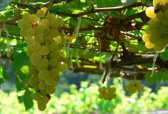 Chenin blanc grapes on the vine -- ain't they purty? - IMAGE CREDIT