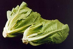 Beware the lettuce. Romaine's been recalled for listeria contamination. - WIKIMEDIA COMMONS