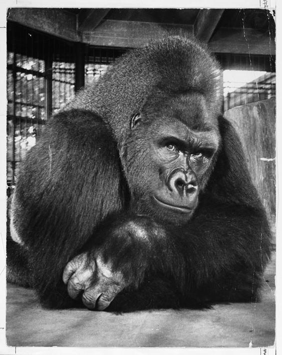 Phil the gorilla.
