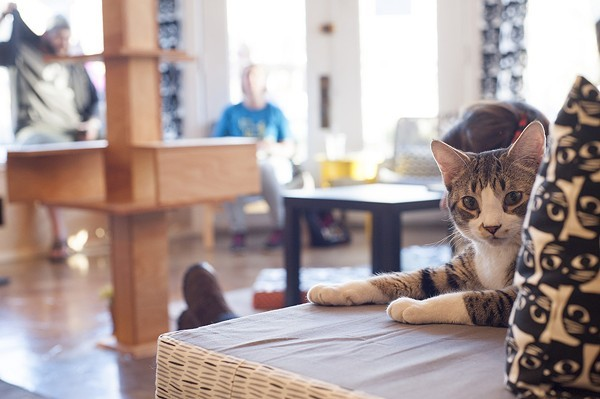 The cuteness at Mauhaus Cat Cafe is unreal. - PHOTO BY KELLY GLUECK.