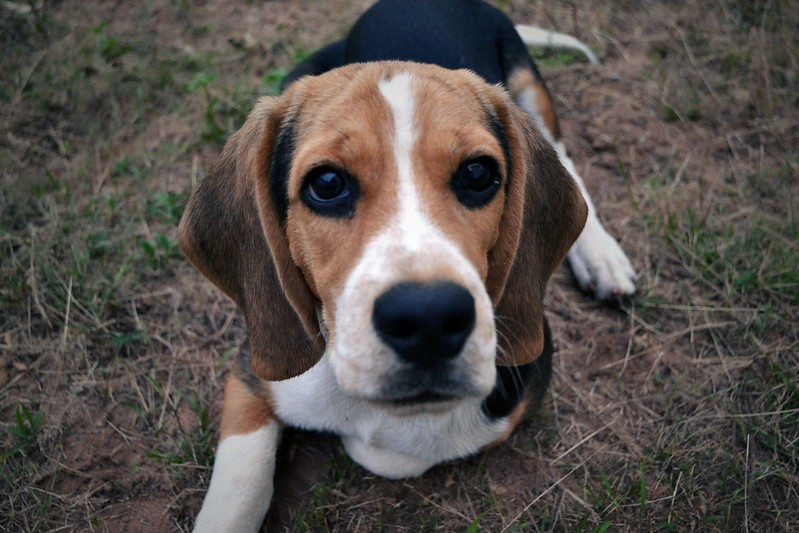 Not the beagle in question, but a very good dog that doesn't deserve to be skinned alive by a psychotic piece of human garbage nonetheless. - VICTOR TORRES/FLICKR