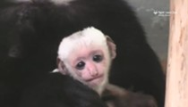 There's a New Baby Monkey at the St. Louis Zoo, and He's Adorable