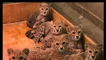 Pretty Kitties Celebrate #NationalSiblingDay at the St. Louis Zoo
